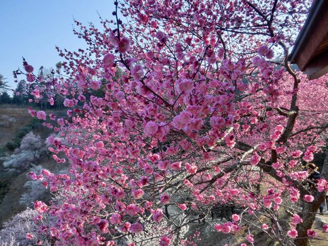 Tree Crusing – Musashi Mitake Schrein – Pflaumenblüte – Tag 2