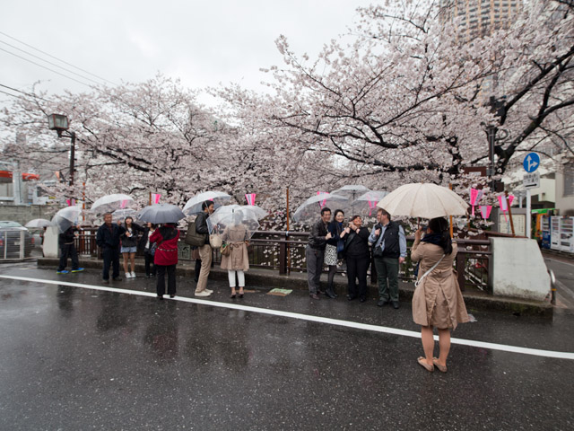 Regentag bei beginnender Kirschblüte – Tag 7