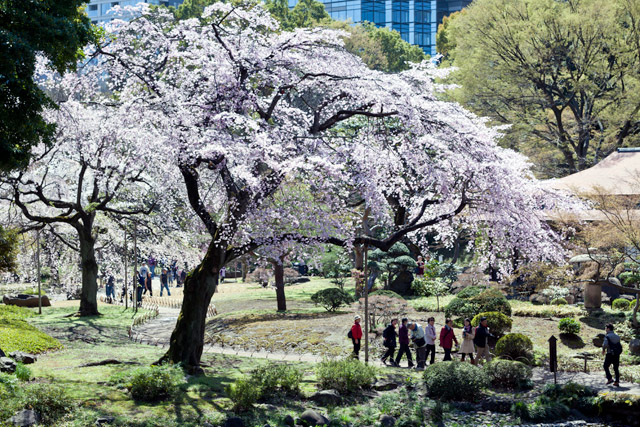 Kirschblüte in Tokio bei herrlichem Wetter – Tag 8