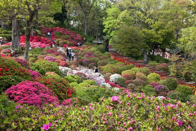 Azaleenblüte  am Nezu-Schrein – Tag 24